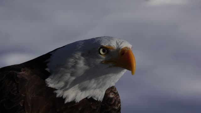 screaming  bald eagle close up - bird of prey stock videos & royalty-free footage