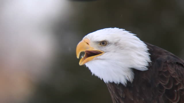 screaming eagle in winter (hd) - beak stock videos & royalty-free footage