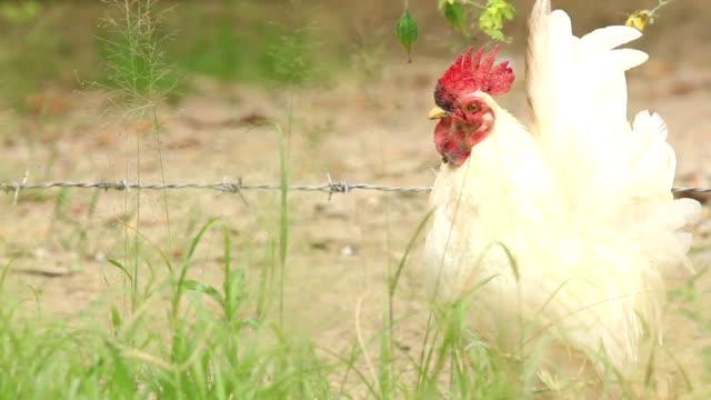 vídeos y material grabado en eventos de stock de chillar blanco grifo - gallo