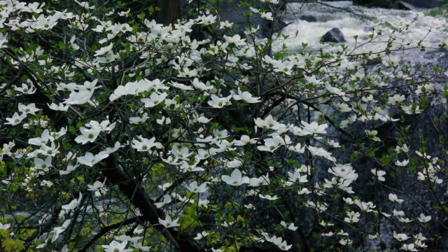 ws screen of flowering dogwood trees with rushing merced river in yosemite national park, california - merced river stock videos & royalty-free footage