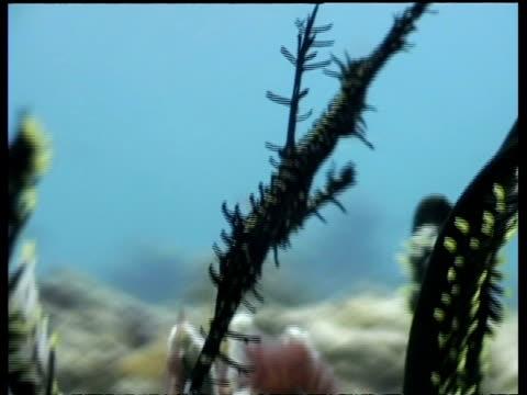 cu scribbled pipefish sheltering amongst coral, malaysia - 動物の色点の映像素材/bロール