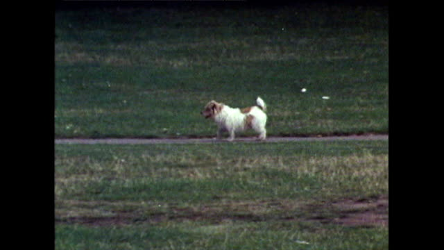 scruffy brown and white terrier trots along path in hyde pakr; 1971 - animal colour stock videos & royalty-free footage