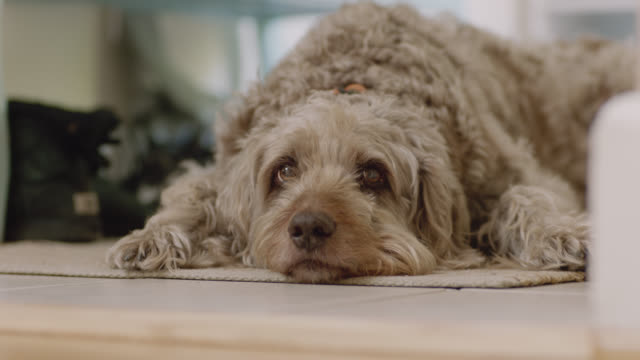 scruffy dog lays on the floor in its house. - quarantena video stock e b–roll