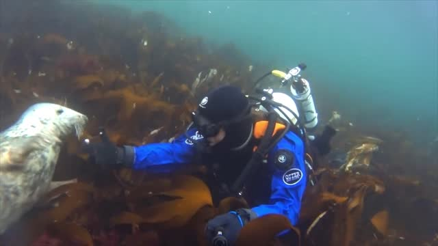 scuba diver and a friendly seal spent some quality time together beneath the waters of the north sea, heartwarming footage shared on september 21... - aqualung diving equipment stock videos & royalty-free footage
