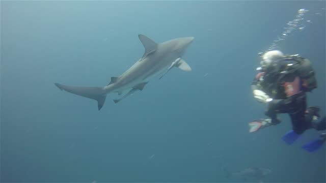 scuba diver and black tip sharks on aliwal shoal - blacktip shark stock videos & royalty-free footage