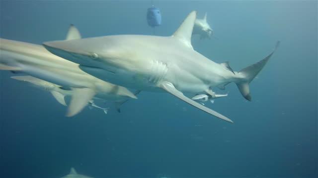 vídeos de stock e filmes b-roll de scuba diver and black tip sharks on aliwal shoal - tubarão galha preta
