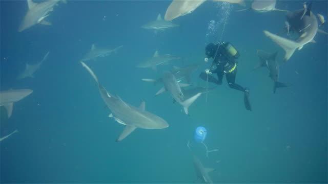 scuba diver and black tip sharks on aliwal shoal - dykarperspektiv bildbanksvideor och videomaterial från bakom kulisserna