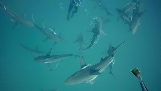 scuba diver and black tip sharks on aliwal shoal - カマストガリザメ点の映像素材/bロール