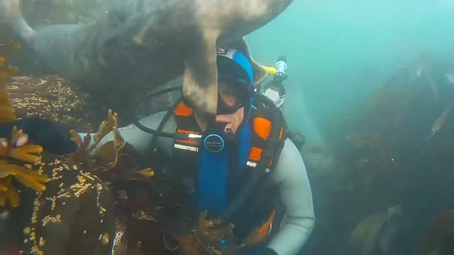 """scuba diver ben burville recently """"sealed"""" a new friendship with a playful pal in the waters off the farne islands, northumberland. ben told storyful... - aqualung diving equipment stock videos & royalty-free footage"""