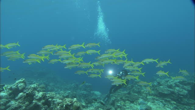 a scuba diver films a school of yellowfin goatfish. - goatfish stock videos & royalty-free footage