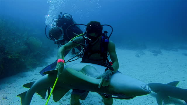 a scuba diver grabs hold and stroking of a large nurse shark in caribbean sea - belize barrier reef / ambergris caye - shark stock videos & royalty-free footage