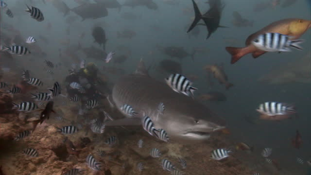 Scuba diver hand feeds tiger shark (Galeocerdo cuvier) on reef, Fiji