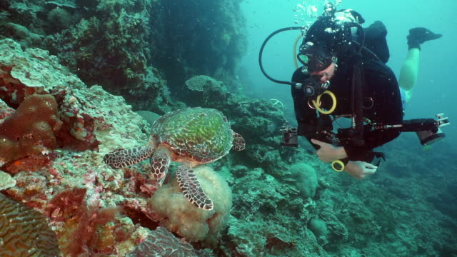 scuba diver in rare eco tourism encounter with a hawksbill sea turtle (eretmochelys imbricata) swimming on underwater coral reef - aqualung diving equipment stock videos & royalty-free footage