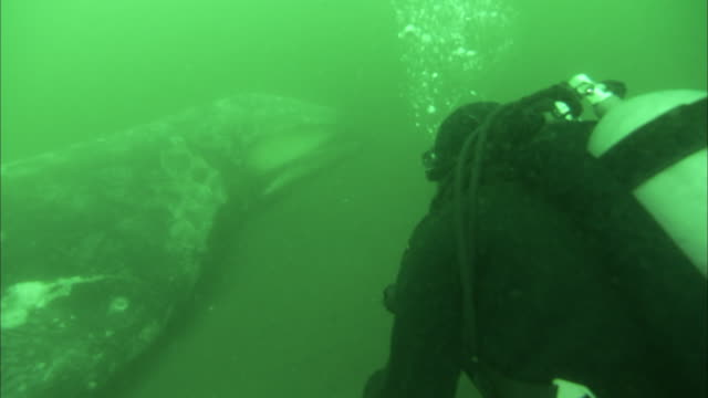 a scuba diver investigates the carcass of a humpback whale. - cetacea video stock e b–roll