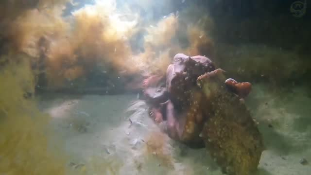 scuba diver observed a maori octopus hunting down and eating a sand octopus, captured in https://www.youtube.com/watch?v=bn1vm7qzgb4 footage taken... - mollusk stock videos & royalty-free footage