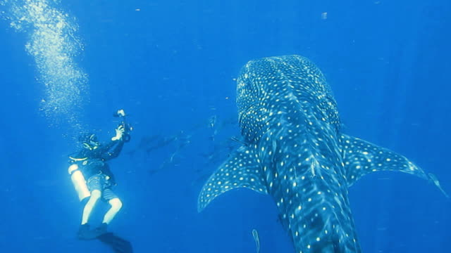 Scuba Diver Photographing an Endangered Species Pelagic Whale Shark (Rhincodon types).  The location is Koh Haa Islands, Krabi, Andaman Sea, Thailand.