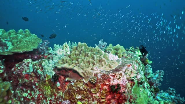 scuba diver point of view of school of fish on vibrant coral reef, hin muang, thailand - scuba diver point of view stock videos & royalty-free footage