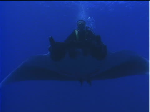 vídeos y material grabado en eventos de stock de a scuba diver rides a swimming manta ray. - simbiosis
