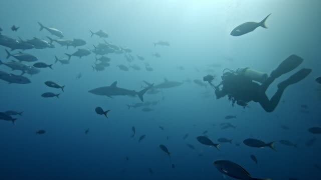 scuba diver, silky sharks and shoal of mackerel - クロトガリザメ点の映像素材/bロール