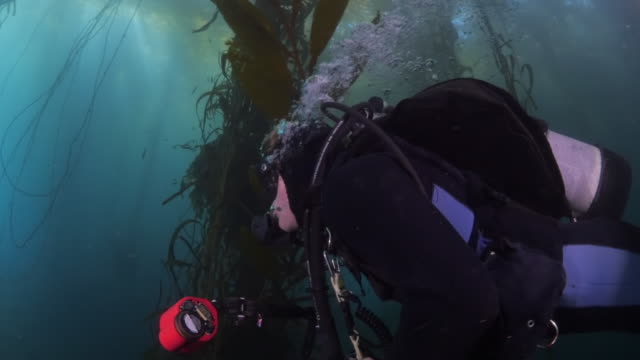 scuba diver swimming around kelp underwater - carmel by the sea, california - kelp stock-videos und b-roll-filmmaterial