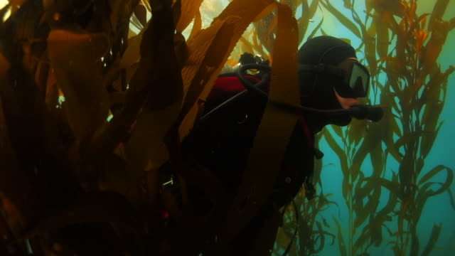 stockvideo's en b-roll-footage met scuba diver swimming through kelp forest in monterey, ca - kelp