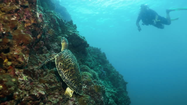 scuba diver underwater watching critically endangered hawksbill turtle (eretmochelys imbricata) on coral reef - bucket list stock videos & royalty-free footage
