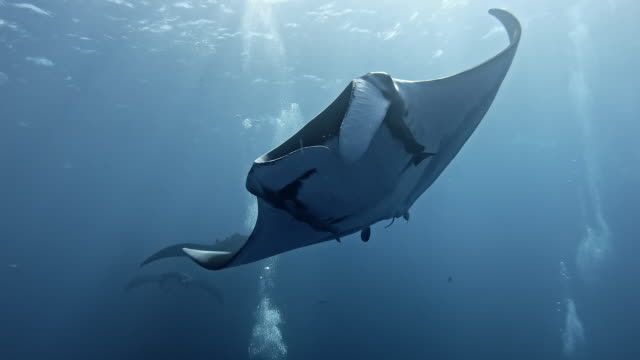 scuba diver with giant oceanic manta ray (mobula birostris) - sprung wassersport stock-videos und b-roll-filmmaterial