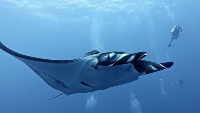 scuba diver with giant oceanic manta ray (mobula birostris) - salt water fish stock videos & royalty-free footage