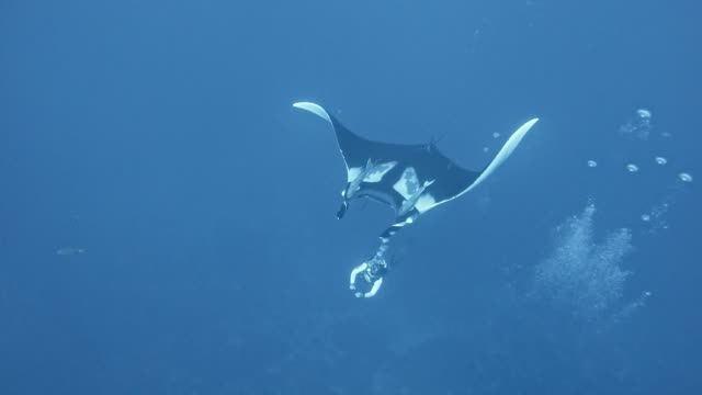 vidéos et rushes de scuba diver with giant oceanic manta ray (mobula birostris) - plongée sous marine autonome