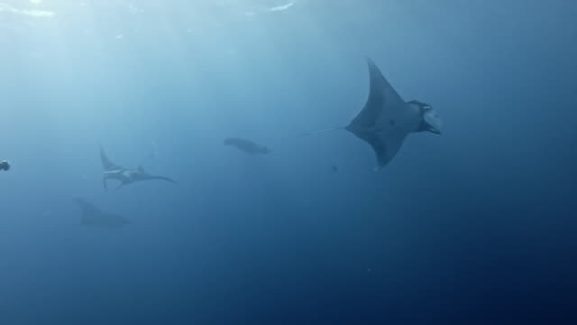 scuba diver with giant oceanic manta ray (mobula birostris) - manta ray stock videos & royalty-free footage
