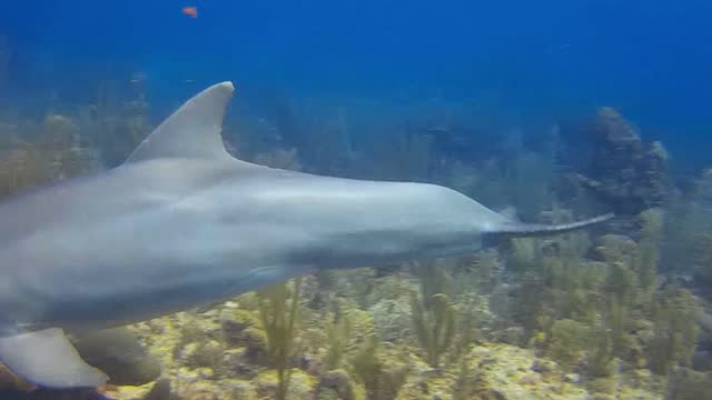 scuba divers all over the world dream of seeing wild dolphins, and many that dream come true, seeing one from afar. when a diver has a prolonged... - aqualung diving equipment stock videos & royalty-free footage