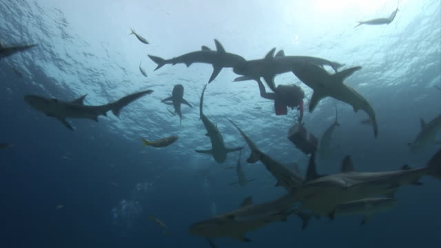 Scuba divers feeding sharks