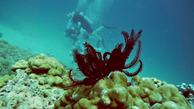 Scuba Divers in with Feather Sea Star (Lamprometra palmata) on coral reef