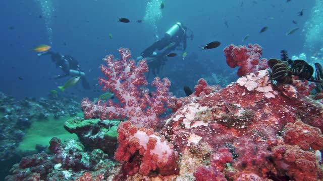 scuba divers surrounded by vibrant soft corals andaman sea thailand - koralldjur nässeldjur bildbanksvideor och videomaterial från bakom kulisserna
