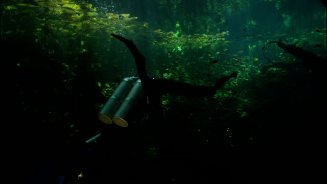 scuba divers swim through a seaweed forest. - wasserpflanze stock-videos und b-roll-filmmaterial