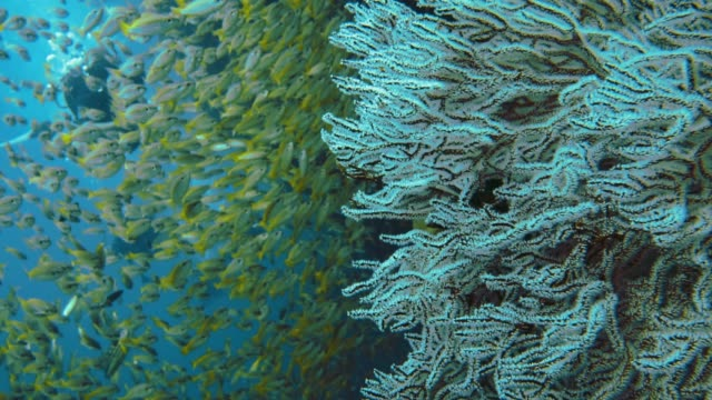 scuba divers swimming through school of fish and red finger gorgonia (diodogorgia nodulifera) coral - aqualung diving equipment stock videos & royalty-free footage