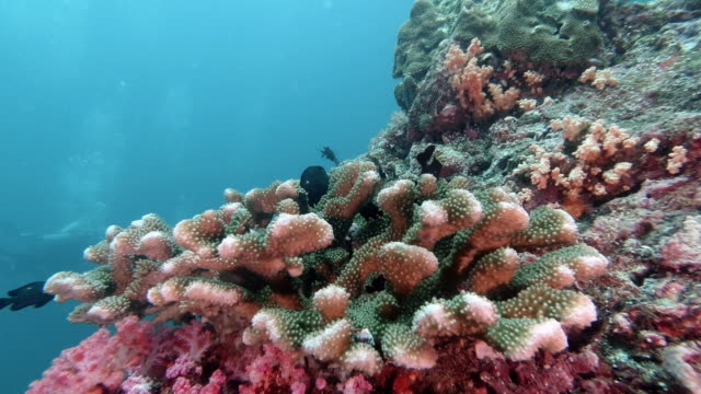 scuba divers underwater on thailand's top dive site with antler coral (pocillopora grandis) on colorful coral reef - antler stock videos & royalty-free footage