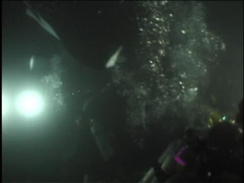 scuba divers with lights illuminate manta rays. - undersea stock videos & royalty-free footage