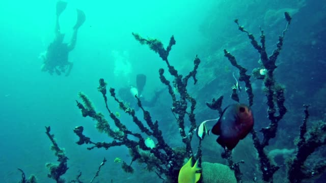 scuba divers with underwater dead gorgonian sea fan (anella mollis) coral bleaching - gorgonian coral stock videos & royalty-free footage