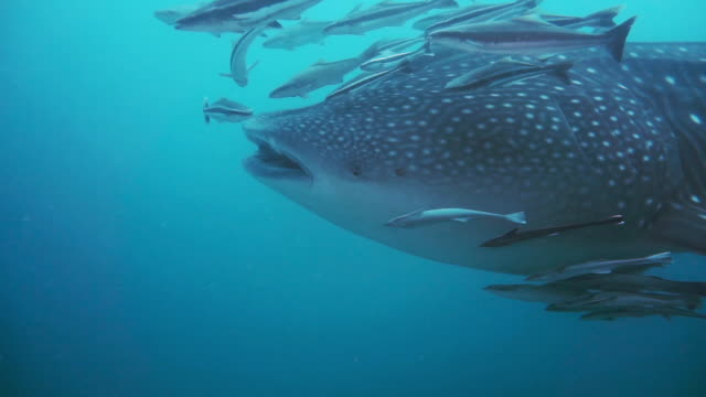 scuba diving close-up with wild whale shark - remora fish stock videos & royalty-free footage