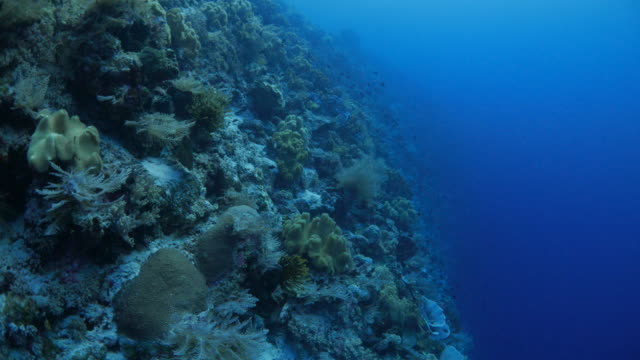 Scuba diving in the cliff of coral reef