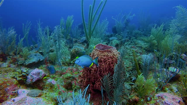Scuba Diving on beautiful colorful coral reef with Giant barrel sponge in Caribbean Sea - Belize Barrier Reef / Ambergris Caye