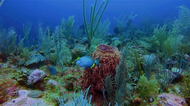 Duiken op prachtige kleurrijke koraal rif met Giant vat spons in Caribische zee - Belize Barrier Reef / Ambergris Caye