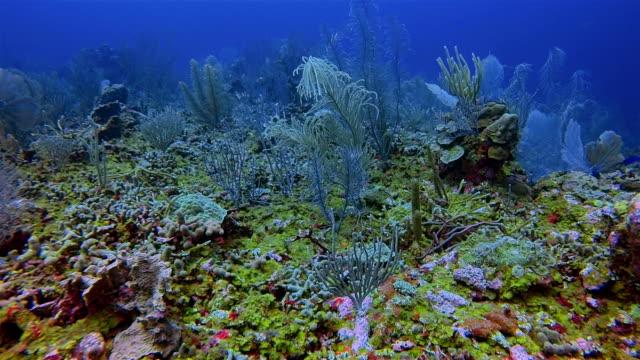 dykning på vackra korallrev på karibiska havet - belize barriärrev / ambergris caye - dykarperspektiv bildbanksvideor och videomaterial från bakom kulisserna