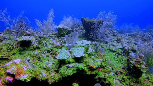 tauchen am schönen korallenriff auf karibik - belize barrier reef / ambergris caye - riff stock-videos und b-roll-filmmaterial