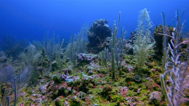 Duiken op prachtige koraal rif op Caribische zee - Belize Barrier Reef / Ambergris Caye