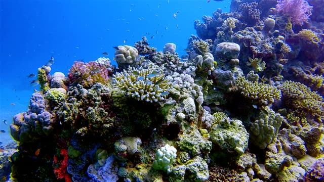 Scuba diving on coral reef with lot of chromis fish in Red Sea / Marsa Alam - Egypt