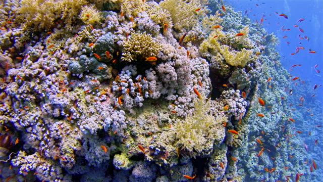 Scuba diving on coral reef with lot of jewel fairy basslet fish on Marsa Alam / Red Sea - Egypt