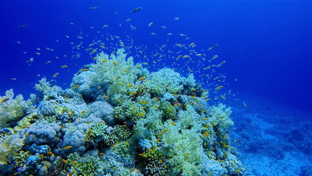 Scuba diving on coral reef with lot of sea goldie fish on Marsa Alam / Red Sea - Egypt