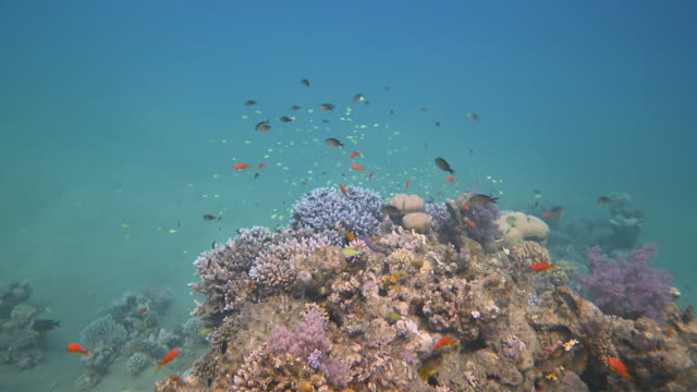 scuba diving on coral reef with lot of tropical fish on marsa alam / red sea - egypt - aquatic organism stock videos & royalty-free footage